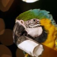 """Margaritaville """"Parrot"""""""